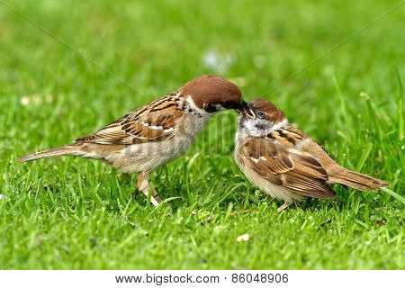 Female Tree Sparrow Is Feeding His Chick