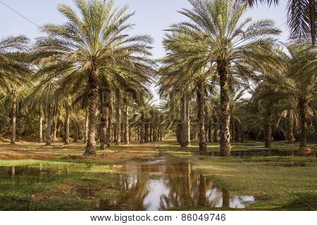 Date palms
