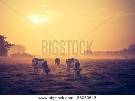 Vintage Photo Of Landscape With Cows On Pasture
