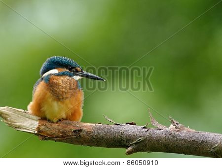 Common Kingfisher Sitting On The Fat Branch