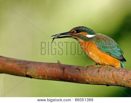 Common Kingfisher With Caught Fish