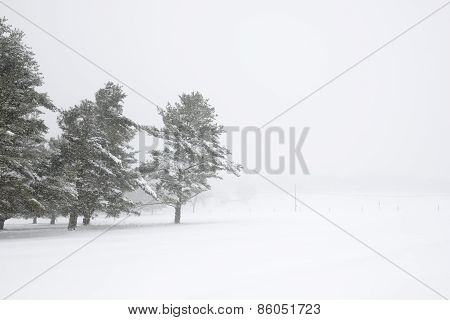 Pine Trees and Field During Blowing Snowstorm