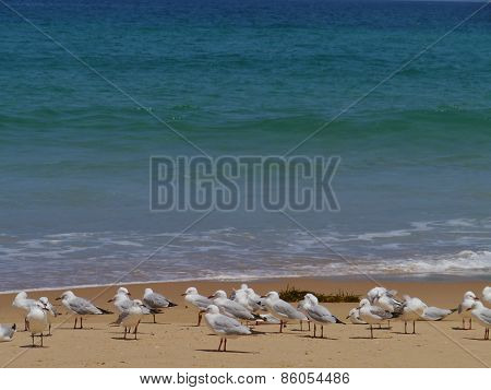 Gulls on Garlie beach in Australia