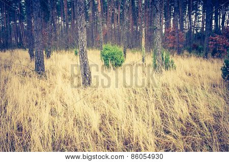 Vintage Photo Of Autumnal Pine Forest