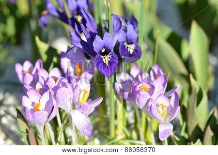 Iris and Crocus