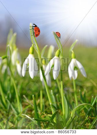 snowdrops with ladybirds