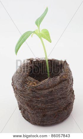 Green Chili Seedling