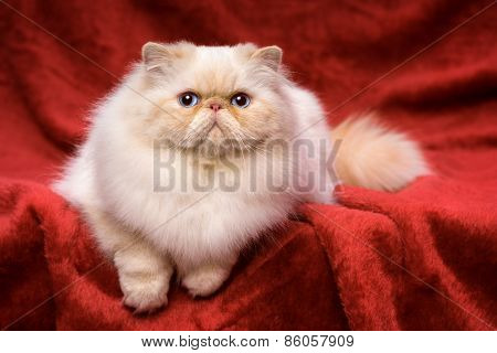 Cute Persian Cream Colorpoint Cat Is Lying On A Red Velvet