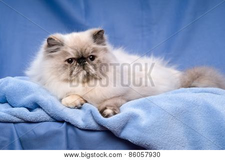 Cute Persian Tortie Colorpoint Cat Is Lying On A Blue Background