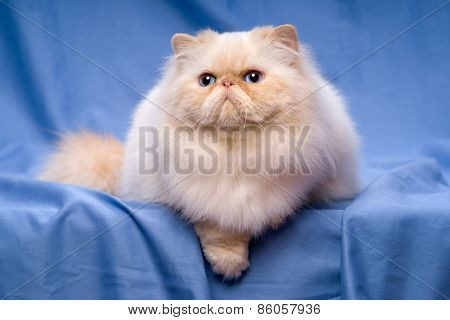 Cute Persian Cream Colorpoint Cat Is Lying On A Blue Background