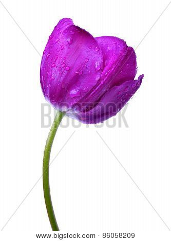 Dewy purple tulip