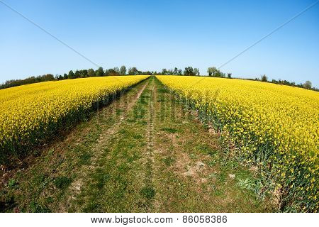 Country Road And Rape Fields
