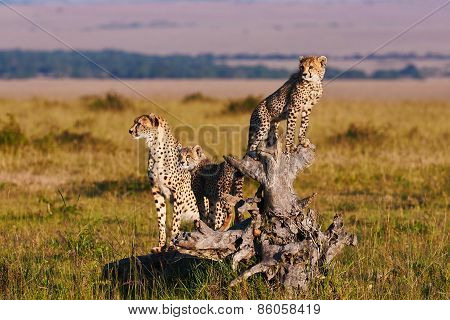 Cheetah Mom And Cubs