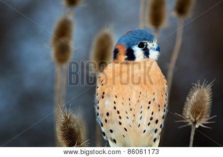 American Kestrel - Adult Male