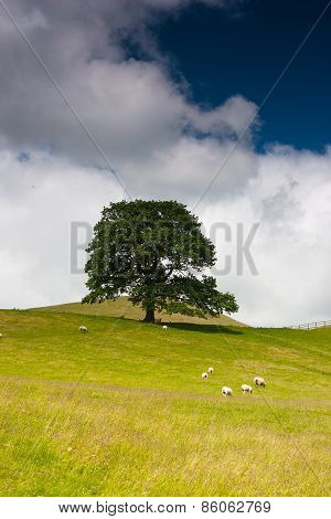 On The Pasture In Sedbergh,yorkshire Dales National Park,england