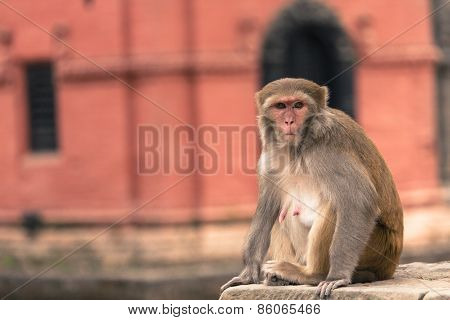 Young Rhesus Macaque Monkey At Swayambhunath Temple, Kathmandu Valley, Nepal