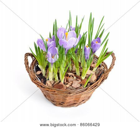 Several Purple Crocuses  In Decorative Busket