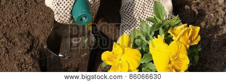 Yellow Pansy Flower In Garden