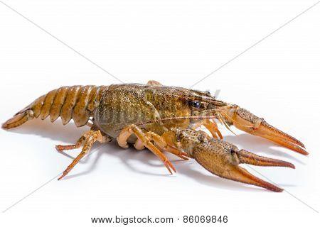 Crayfish Isolated On The White Background