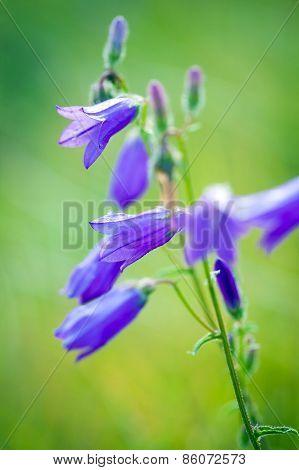 Harebells (campanula) Wild Flowers On Summer Meadow