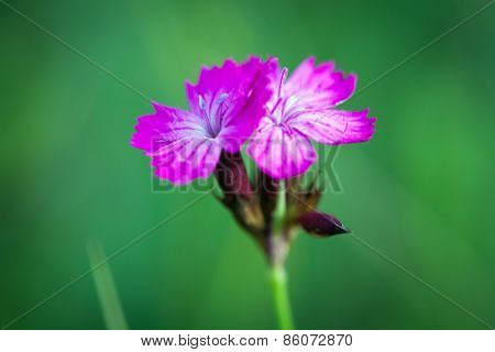 Small Pink Wild Flowers On Green Meadow