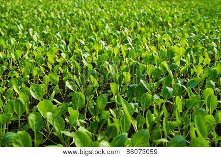 Seedlings Of Cabbage
