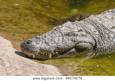 Nile Crocodile Sleeping
