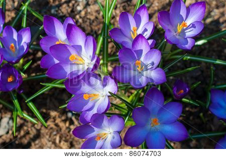 Close-up violet crocuses in garden with young green grass. Outdoor, spring