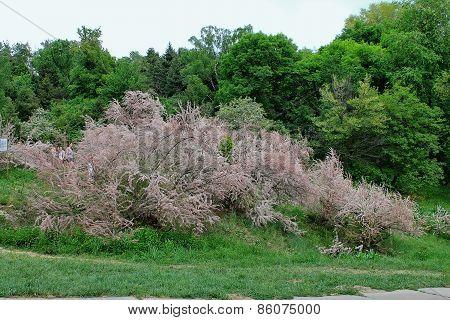 blooming  pink shrub