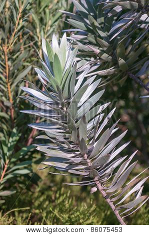 Leaves Of A Silver Tree Protea
