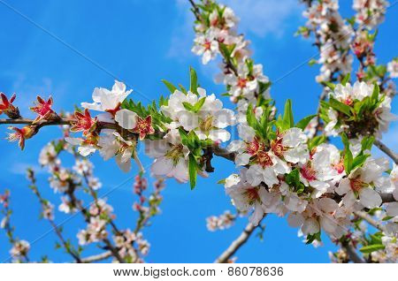 closeup of a branch of an almond tree in full bloom over the blue sky
