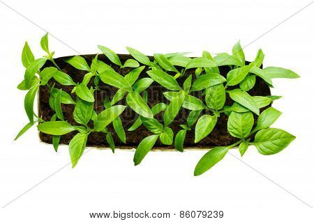 Young paprika plant seedlings in a tray isolated on white background
