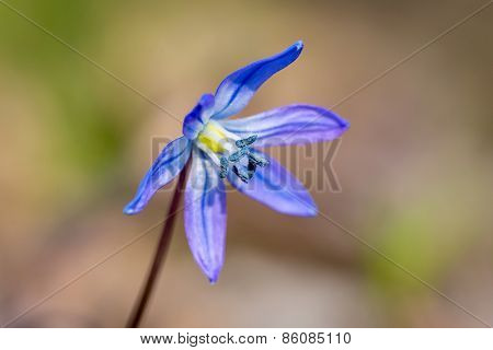 Nice Spring flower - Scilla Bifolia, macro photo