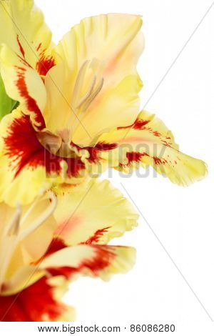 Beautiful colorful fresh red and yellow gladiolus isolated \ close up \ vertical