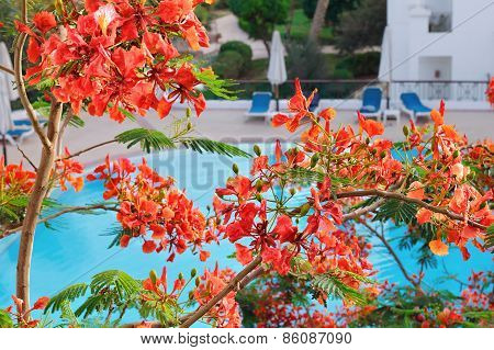 acacia flowers in a tropical garden with swimming pool