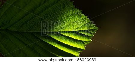 Translucent Tree Leaf Against The Dark Background