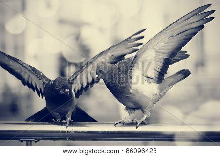 Two City Rock Pigeons.