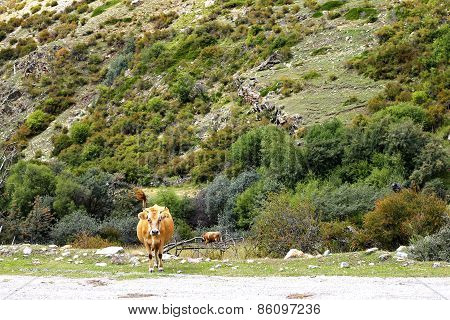 A Cow Standing On The Summer Meadow