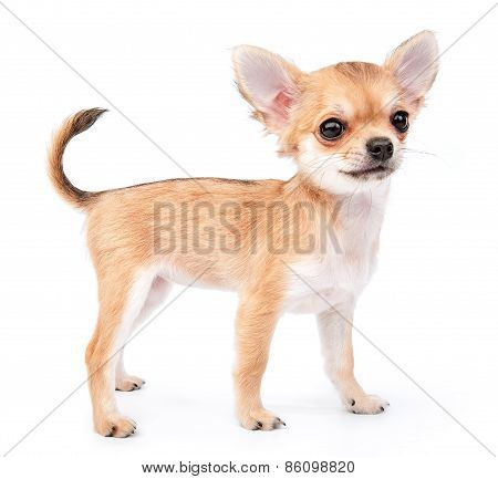 small cute chihuahua puppy