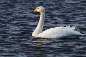 foto of black swan  - This image shows a single Whooper Swan swimming on greyish, blue water. This swan is white with a yellow and black beak. This picture was taken in Lancashire, England in late January. ** Note: Soft Focus at 100%, best at smaller sizes - JPG