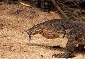 foto of monitor lizard  - Malaysia - JPG