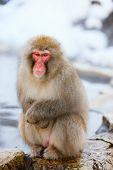 stock photo of macaque  - Snow Monkey Japanese Macaques at onsen hot springs of Nagano - JPG