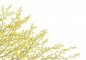 image of mimosa  - Yellow mimosa flowers branches  isolated on white - JPG