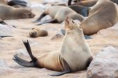 ������, ������: Cape Fur Seal