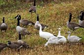 foto of snow goose  - Canadian and Snow geese with gooslings in agricultural field during fall migration - JPG