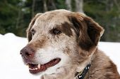 image of spotted dog  - Portrait of big dog outsite in the snow Australian shepherd and labrador mix - JPG