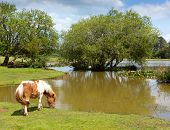 Постер, плакат: New Forest pony by a lake on a sunny summer day in Hampshire England UK