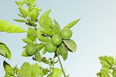 pic of orange-tree  - Green unripe Orange fruit on a branch - JPG