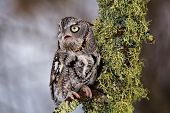 stock photo of lichenes  - Eastern Screech Owl sits on a lichen covered branch.