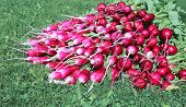 picture of radish  - Many fresh radishes with leaves on the grass - JPG